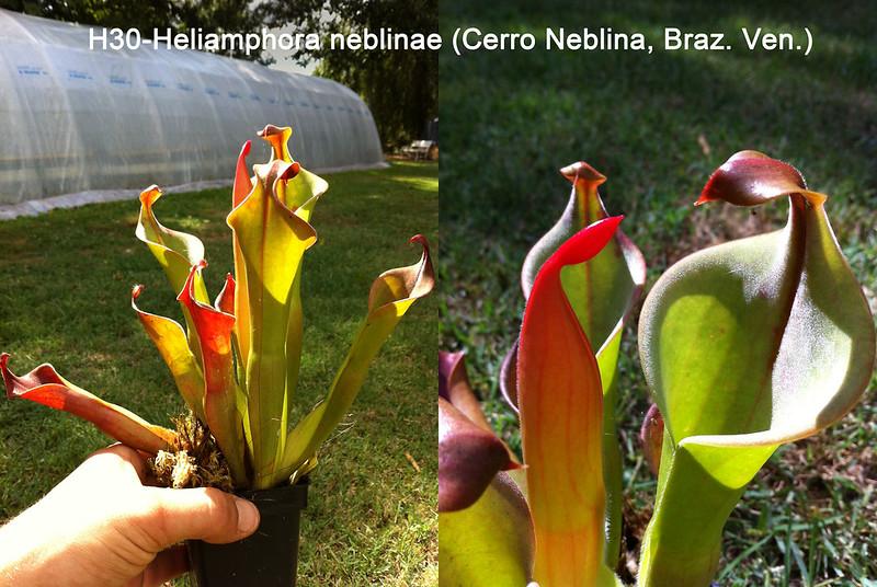 Vente :H30 .HELIAMPHORA NEBLINAE (CERRO NEBLINA, BRAZ. VEN.) 7894553406_b92bd0879c_c