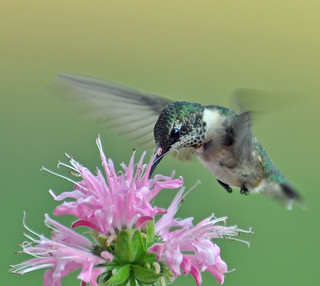 Bee Balm Hummingbird -Explore :)
