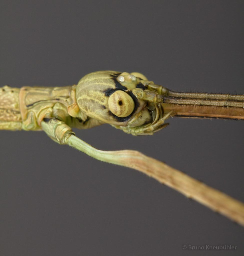 "Anchiale sp. ""Buru"" (Phasmatodea) - new species 7906787354_f39bf34c78_b"