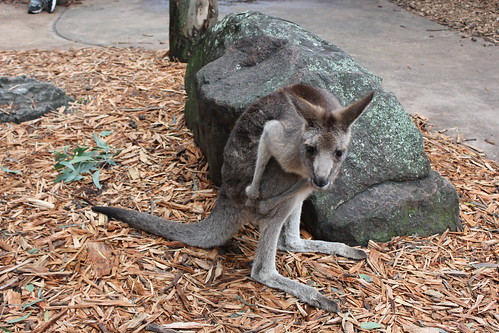 Kangaroo at Dreamworld by holidaypointau