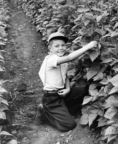 Boy kneeling in a pole bean field, circa 1940