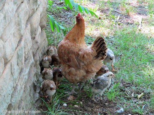 Lokey and her ten chicks (5) - FarmgirlFare.com