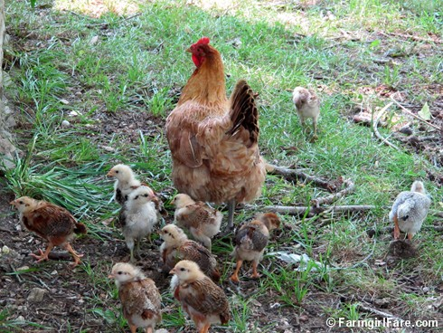 Lokey and her ten chicks (3) - FarmgirlFare.com