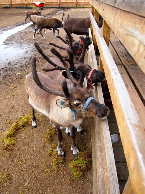 Reindeer, Alaska