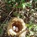Hummingbird nest and eggs - nido de colibrí; bosque al lado de Monte Negro, Oaxaca, Mexico por Lon&Queta