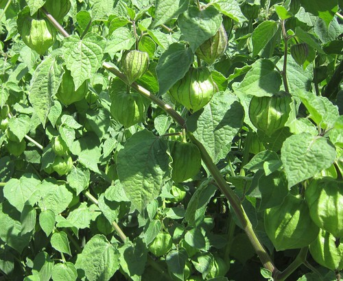 実を付ける食用ほおずき 2012年9月12日 by Poran111
