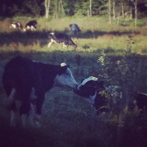 Momma Cow Helping Her Baby