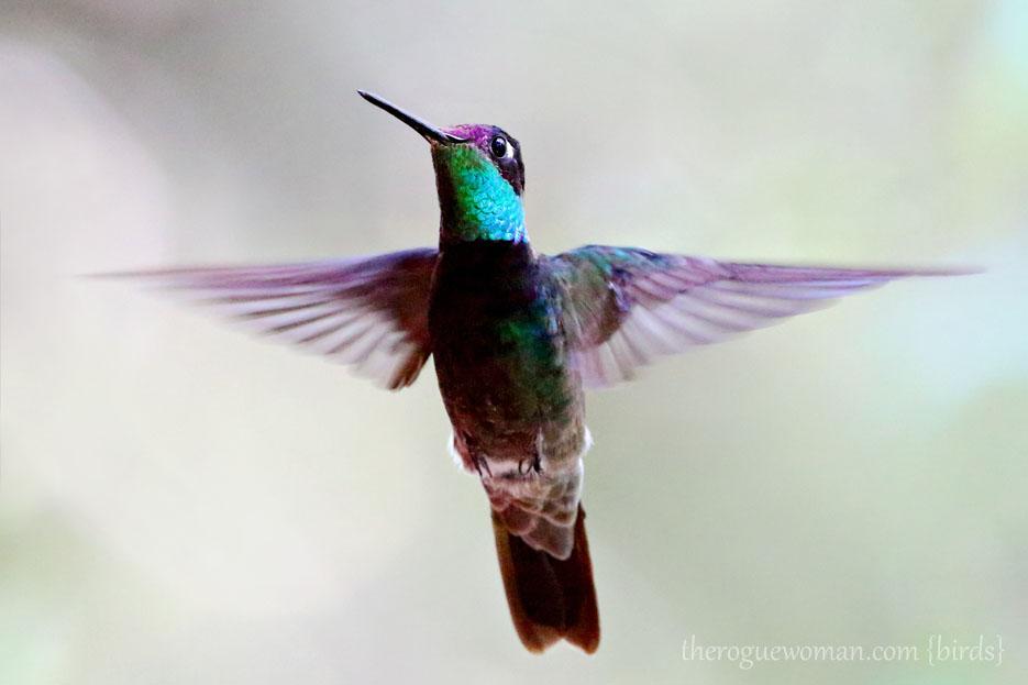 083112_03_magnificentHummingbird