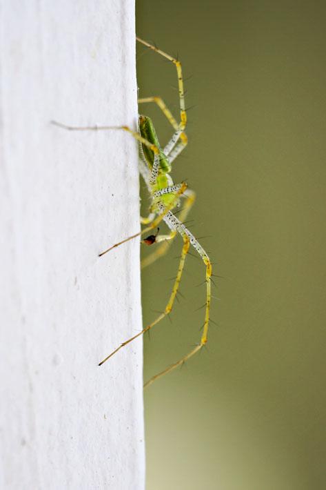 090112_06_bug_linxSpider
