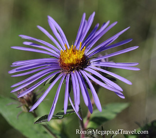 Good Morning World - A lonely Aster