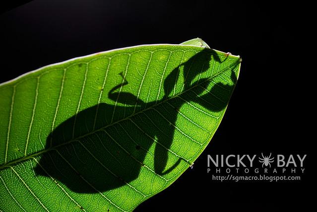 Gray's Leaf Insect (Phyllium bioculatum) - DSC_4951