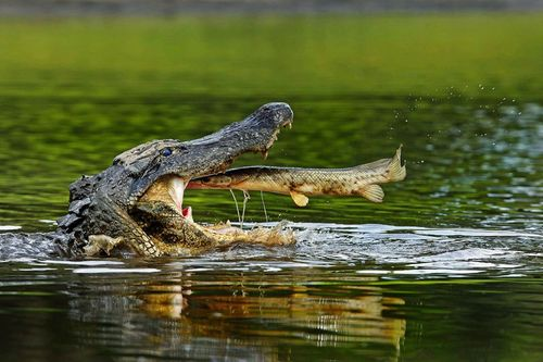 FLORIDA: Alligator Snap of the Day