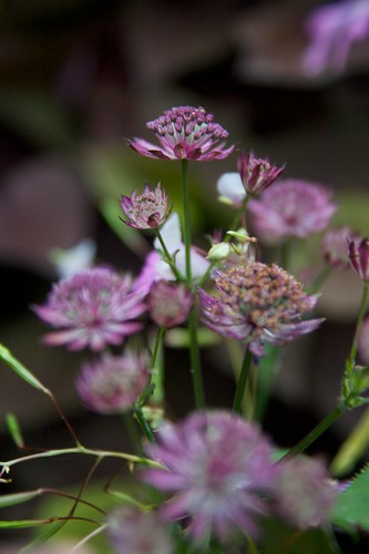 astrantia ruby wedding  2192