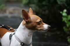 animal sports(0.0), dog breed(1.0), animal(1.0), dog(1.0), pet(1.0), miniature fox terrier(1.0), toy fox terrier(1.0), carnivoran(1.0), basenji(1.0), terrier(1.0),