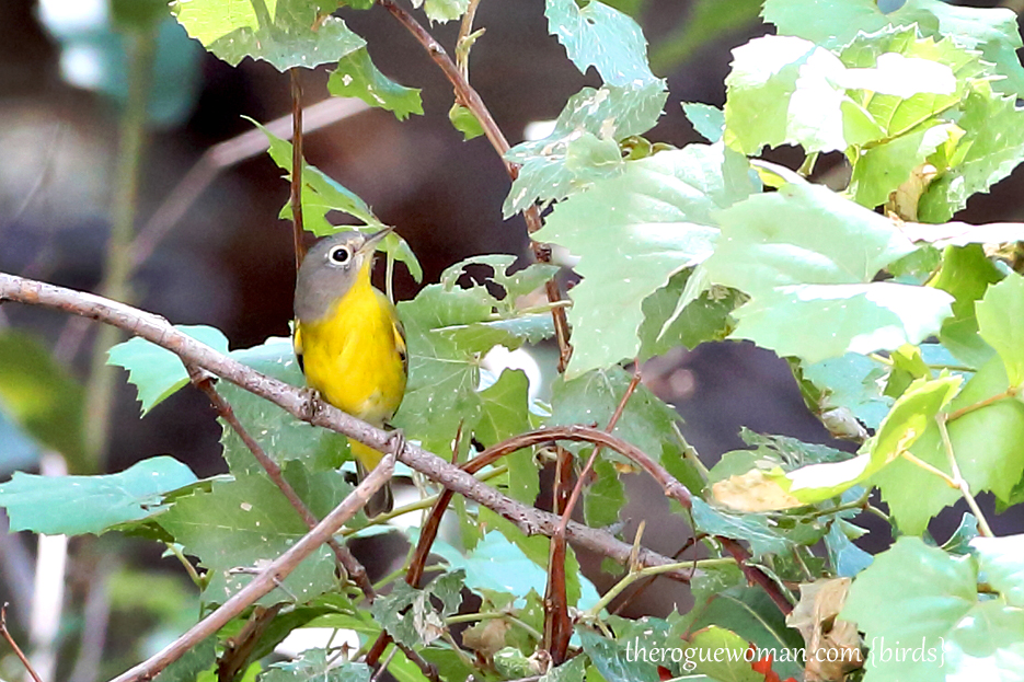 090312_09_bird_warble_tennesseWarbler2