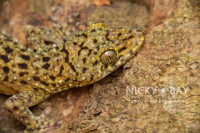 Gecko - DSC_5087