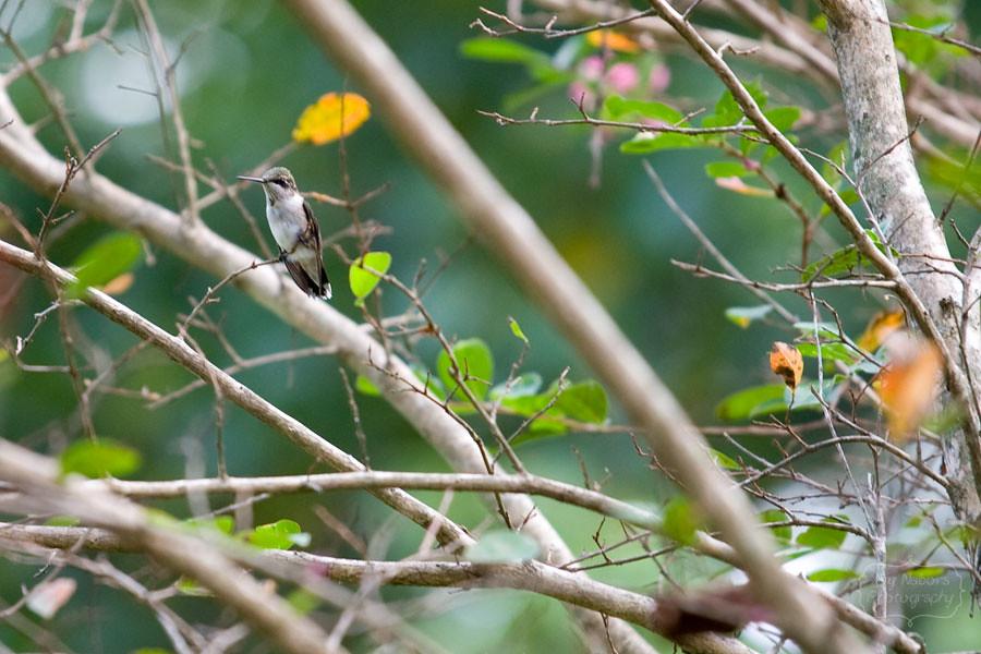 Hummingbird_Sep062012_0020