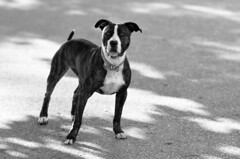 dog breed, animal, dog, pet, mammal, monochrome photography, monochrome, staffordshire bull terrier, black-and-white, black, terrier,