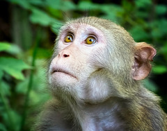 Averted Gaze - Silver River Rhesus Macaque