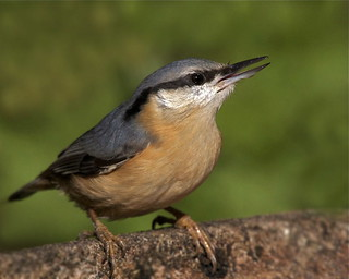 Nuthatch taken in the garden