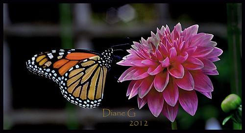 Monarch Butterfly  9