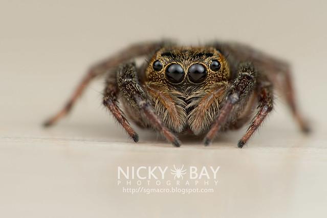 Jumping Spider (Salticidae) - DSC_5586