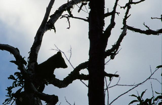 Header of American marten