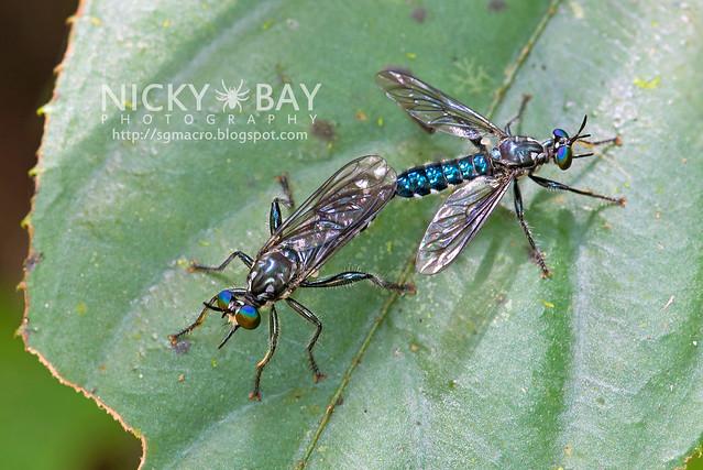 Robberflies (Asilidae) - DSC_9442