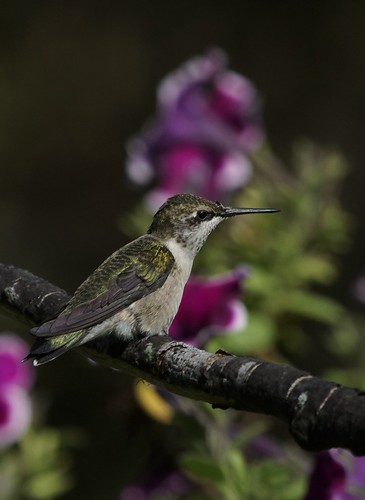 Hummingbird with petunia's by conniee4