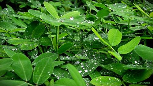 leaves and dews