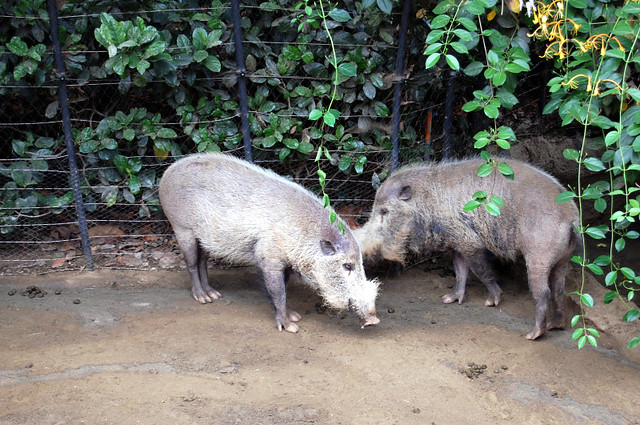 bearded pigs