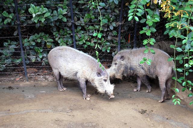 bearded pigs
