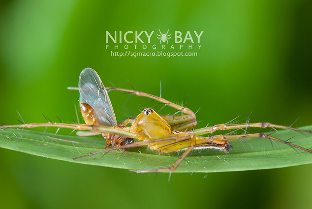 Lynx Spider (Oxyopidae) - i02789