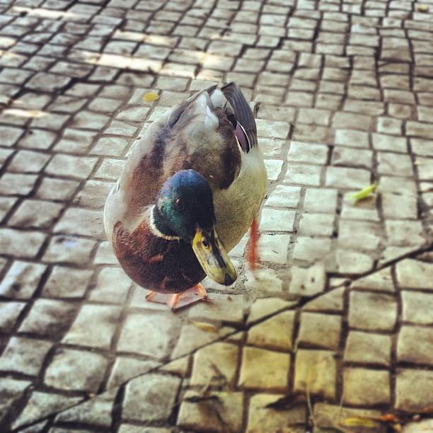 Um pato quá-quá