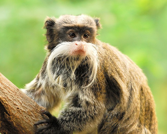 Beardy Monkey: London Zoo Bearded Monkey (I'm Not The Greatest One For