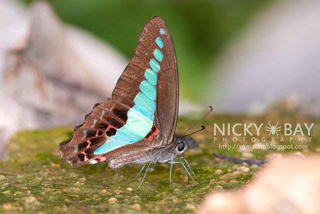 Common Bluebottle (Graphium sarpedon luctatius) - DSC_4285