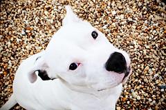 Cora, American Bulldog Mix