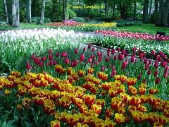 Dutch Tulips, Keukenhof Gardens, Netherlands - 3991