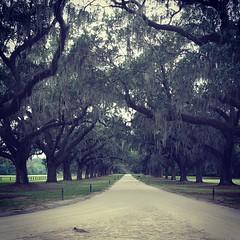 Avenue of the Oaks #boonehallplantation #southcarolina #mtpleasent #antebellum #liveoak #spanishmoss #road #nature #tree #travel
