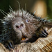 Surprised porcupine