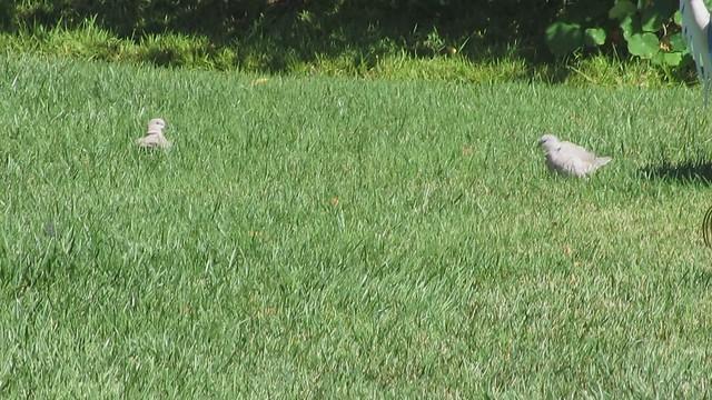 MVI_1115 eurasian collared dove backyard