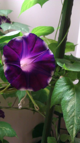 An indoors-grown Japanese morning glory by Gerris2