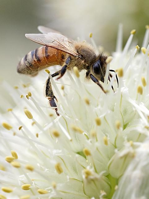 Honeybee on the Leek Flower