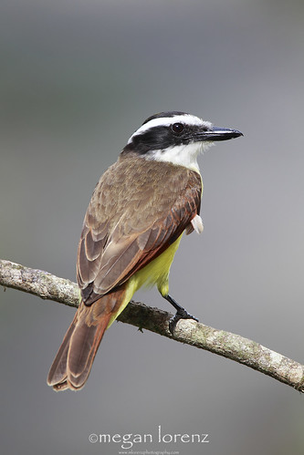 Kiskadee by Megan Lorenz