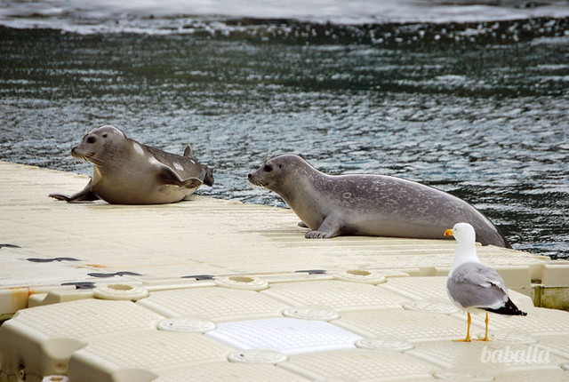acuario_coruña_focas