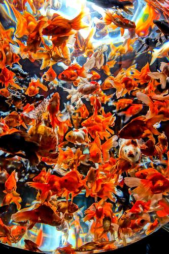 [フリー画像素材] 動物, 魚類, 金魚・キンギョ ID:201209090000