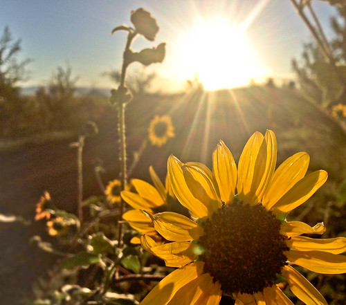 arizona sunrise sunflower prescott iphone