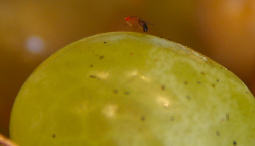 Fruit Flies on Grapes