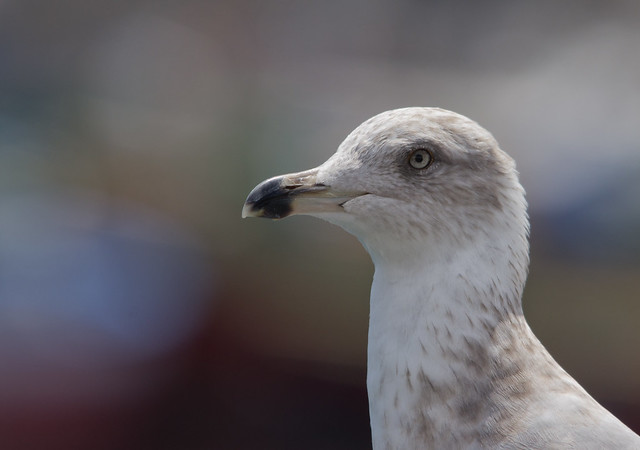 yellow legged gull close up
