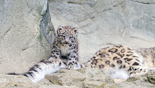 Mohan playing with mom's tail